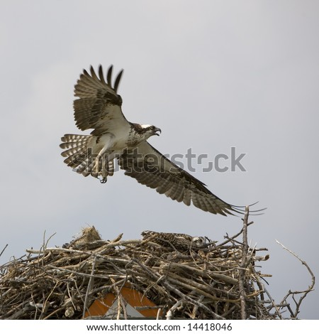An Osprey (fish hawk) flying low over its nest