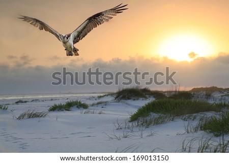 An Osprey flies over a white sand beach as the sun rises - stock photo