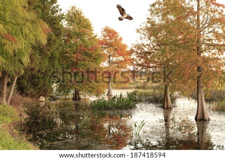 An Osprey Flies Over the Bald Cypress Trees in The Fall  - stock photo