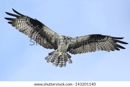 An Osprey flies toward you as it brings in sticks for it's nest - stock photo