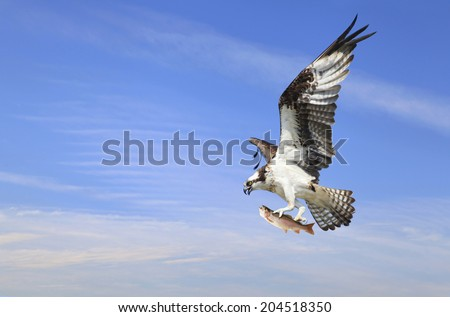 An Osprey Flying off with His Catch of A Rainbow Trout - stock photo