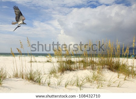 An Osprey Flying with His Catch on a Beautiful Florida Beach - stock photo