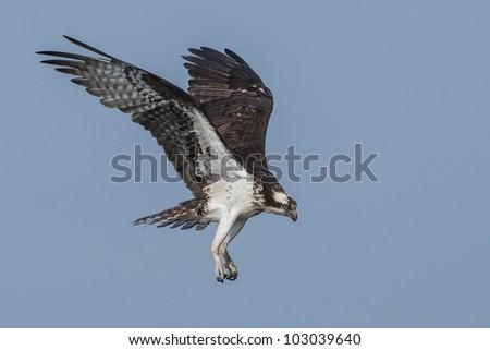An osprey landing against a clear blue sky - stock photo