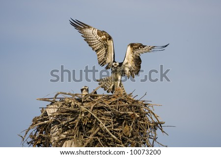 An Osprey lands in  the nest with a fish for his mate