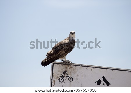 An osprey (Pandion haliaetus)   or  fish eagle, sea hawk, river hawk,  fish hawk is a diurnal, fish-eating bird of prey perched on  a metal sign near the Indian Ocean at Broome , North West Australia. - stock photo