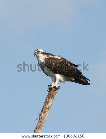 An Osprey (Pandion haliaetus) perching on a branch in the Florida Everglades looking for something to eat.