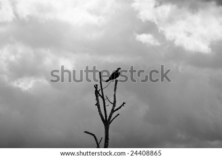 an osprey silhouetted against a cloudy sky