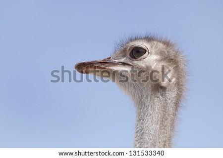 An Ostrich face - stock photo