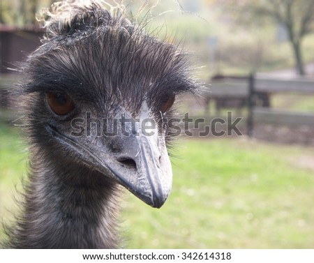 An ostrich head with curious look - stock photo