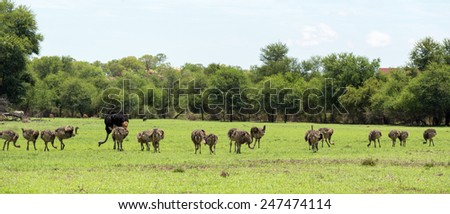 An Ostrich herd grazing at the Gaborone Game Reserve in Gaborone, Botswana - stock photo