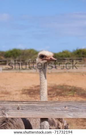 An ostrich on a farm in Curacao.