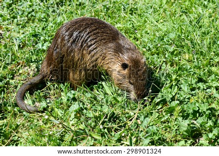An Otter on the grass