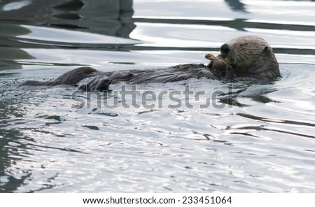 An otter squeezes it's eye shut as it bites down on a crab. - stock photo