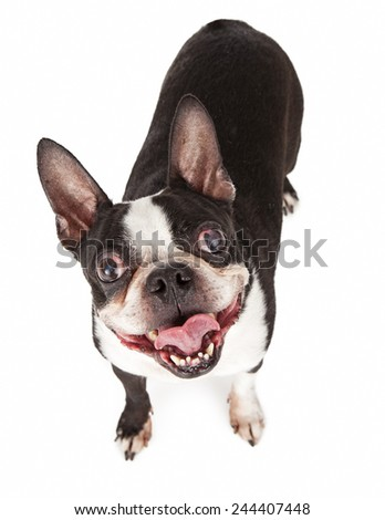 An overhead shot of a fun little Boston Terrier breed dog looking up with a happy expression - stock photo