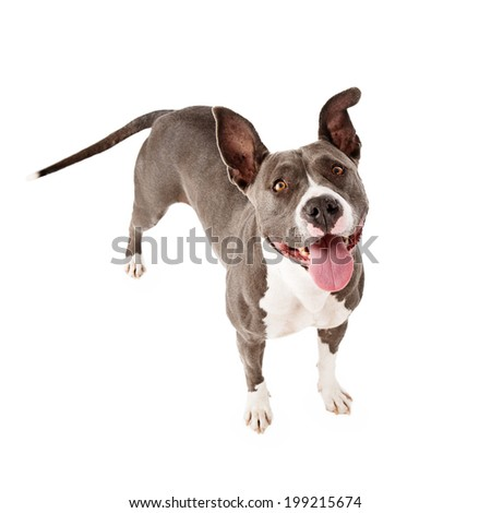 An overhead view of a  playful and happy Pit Bull dog standing up and looking up - stock photo