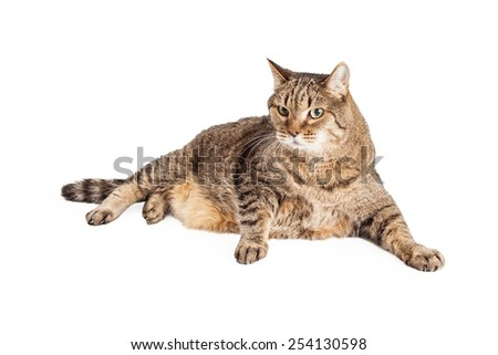 An overweight Mixed Breed Tabby Cat laying with paws outstretched in front of body.  - stock photo