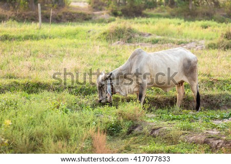an ox in green field.