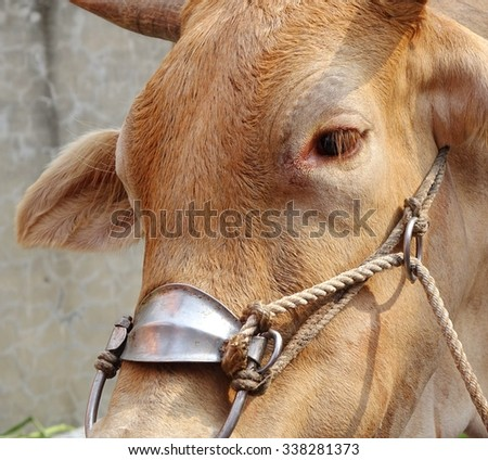 An ox wears a harness designed to pull a cart