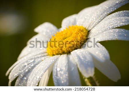 An Oxeye daisy flower in early morning light with dew on the petals  - stock photo