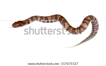 An snake American Copperhead (Agkistrodon contortrix) crawling on the edge