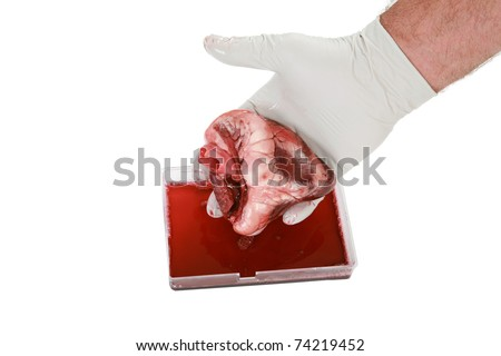 an unidentifiable surgeon holds a Human Heart in his hands. isolated on white with room for your text. Great for Valentines Day, Medical and other uses - stock photo