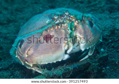 Box Crab Stock Photos Royalty Free Images Vectors Shutterstock