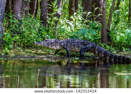 An Unusual Shot of a Large American Alligator (Alligator mississippiensis) Walking on a Lake Bank in the Wild at Brazos Bend Park, Texas. - stock photo