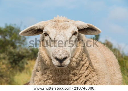 An up close view of a sheep head. The animal is just staring back. - stock photo