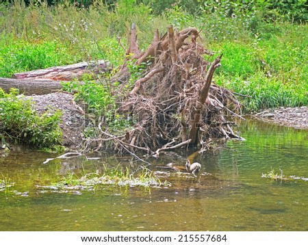 An uprooted tree in a floodplain forest.  - stock photo
