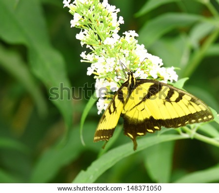 An upside down Eastern Tiger Swallowtail Butterfly on a white Butterfly Bush (Buddleja davidii) bloom during the summer. - stock photo
