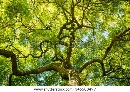 Upward view japanese maple tree canopy stock photo 345508499 an upward view of a japanese maple tree canopy in the spring on the eastern shore sciox Choice Image