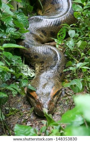 Anaconda, Los Llanos (Venezuela) - stock photo