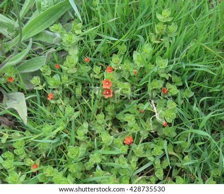 Anagallis arvensis (Scarlet Pimpernel) on the Island of Tresco, Part of the Isles of Scilly, England, UK - stock photo