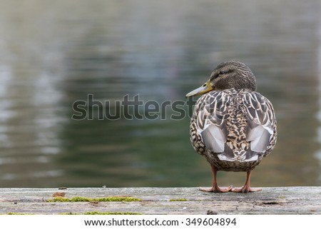 Anas platyrhynchos is sitting at a old plank - stock photo
