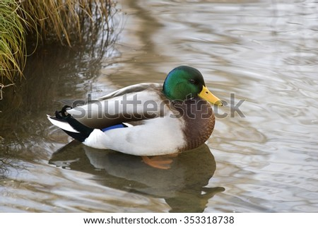 Anas platyrhynchos Mallard Duck in a Pond - stock photo