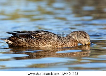 Anas platyrhynchos, Mallard. Wild bird in a natural habitat. Wildlife Photography. - stock photo