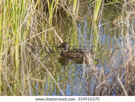 anas platyrhynchos,swimming in the lake looking for food - stock photo