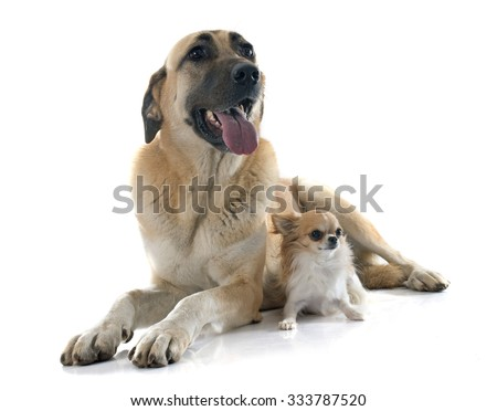 Anatolian Shepherd dog and chihuahua in front of white background - stock photo