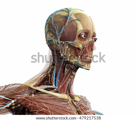 anatomic head  isolated on white; 3d illustration