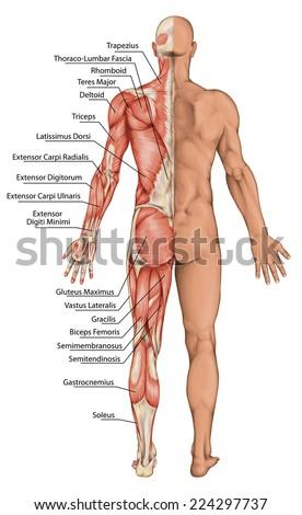muscular system lizenzfreie bilder und vektorgrafiken kaufen, Muscles