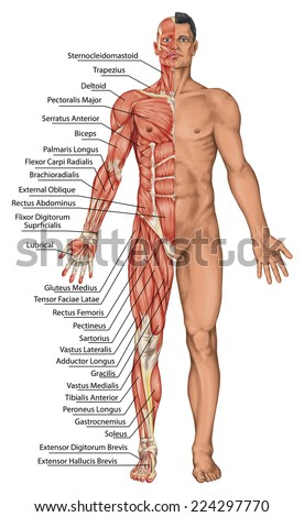 Anatomical Board Male Anatomy Mans Anatomical Stock Illustration ...