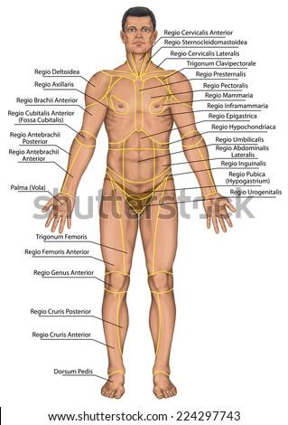 Anatomical Board Region Human Body Regions Stock Illustration