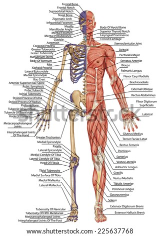 anatomical body, human skeleton, anatomy of human bony system, body surface contour and palpable bony prominences of the trunk and upper and lower limbs, anterior view, full body - stock photo