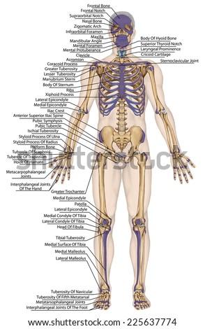 human skeleton stock vector 75795286 - shutterstock, Skeleton