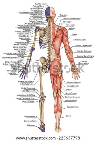 human skeleton structure stock images, royalty-free images, Skeleton