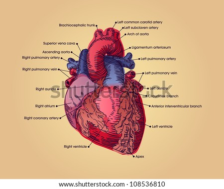 Anatomical heart illustration with text