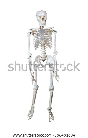 Anatomical Model human skeleton on a stand isolated on white background - stock photo