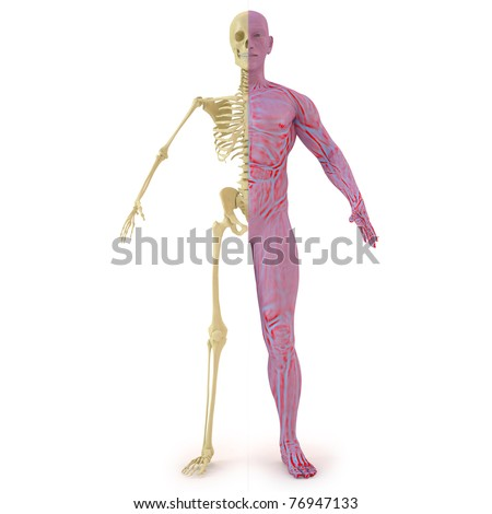 anatomical structure of the body man. bones and muscular flesh. isolated on white. - stock photo