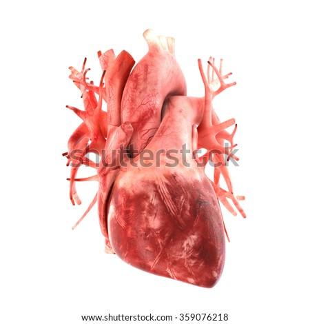Anatomically correct 3d model of human heart - stock photo