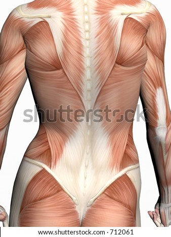 Anatomically correct medical model of the human body, a woman with muscles showing.  3D illustration, render over white. View on torso from back. - stock photo